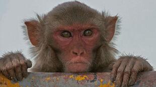 Irańska małpa poleci w Kosmos. Po Ramadanie