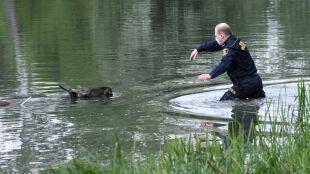 Łoś w Parku Skaryszewskim. Topił się, strażnik wyławiał go z wody